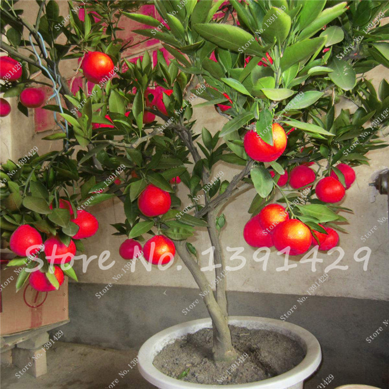 30PCS Dwarf Bonsai Red Lime Seeds Red Lemon Tree Blood Orange Organic fruit seeds healthy food home garden pots planters