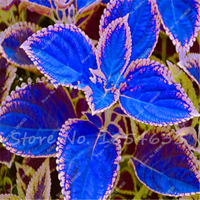 online get cheap coleus garden aliexpress  alibaba group, Beautiful flower