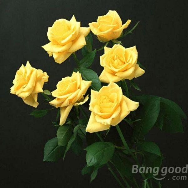 Xpasion 20 Pcs Yellow Rose Flower Seeds Good Fortune Flower