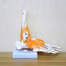 23x21x11cm אדם 1:1 שלד ברצועות רגל קרסול משותף Anatomi cal האנטומיה הוראה רפואית דגם