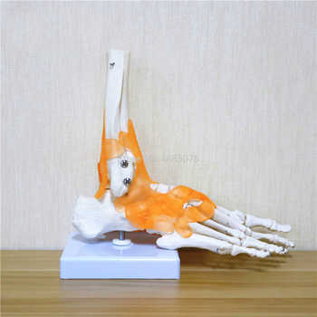 23x21x11cm Human 1:1 Skeleton Ligament Foot Ankle Joint Anatomi cal Anatomy Medical Teaching Model - Category 🛒 Office & School Supplies