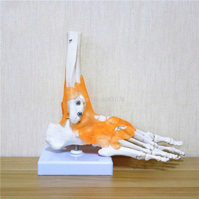 23x21x11cm ludzkie 1:1 szkielet więzadło stóp kostki wspólne Anatomi cal anatomia Model nauczania medycznego