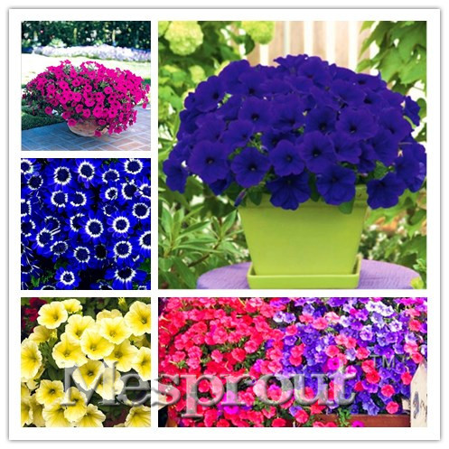 22 kinds Hanging Petunia Seeds,Garden Petunia Seeds, Mixed color 100pcs,Very Beautiful G ...