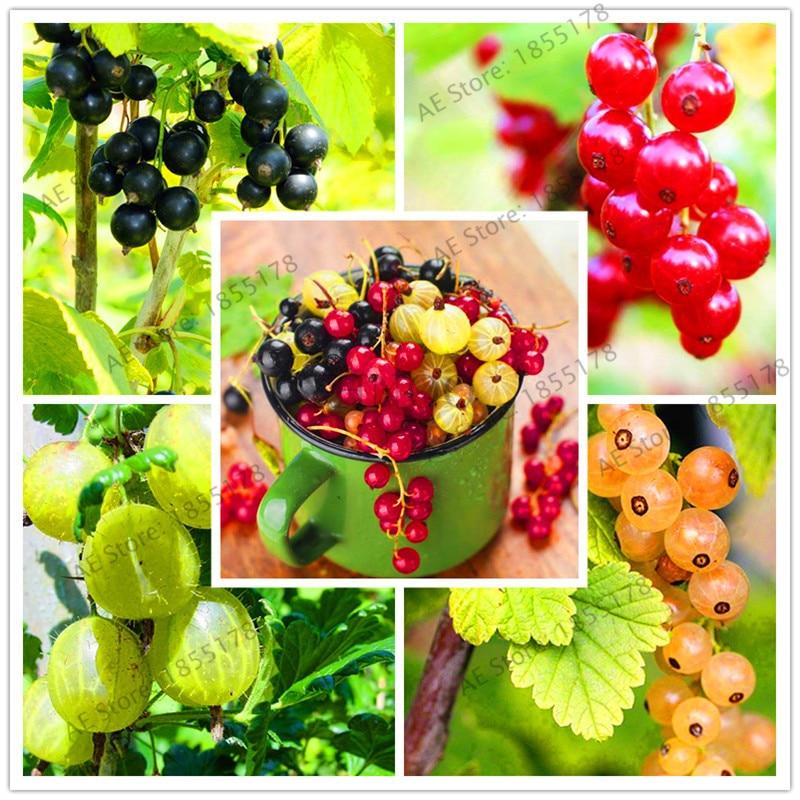 104-pcs-pack-Fresh-Perennial-Physalis-Cape-Gooseberry-bonsai-Potted-fruit-garden-Nutrient-rich-Decorative-balconies.jpg