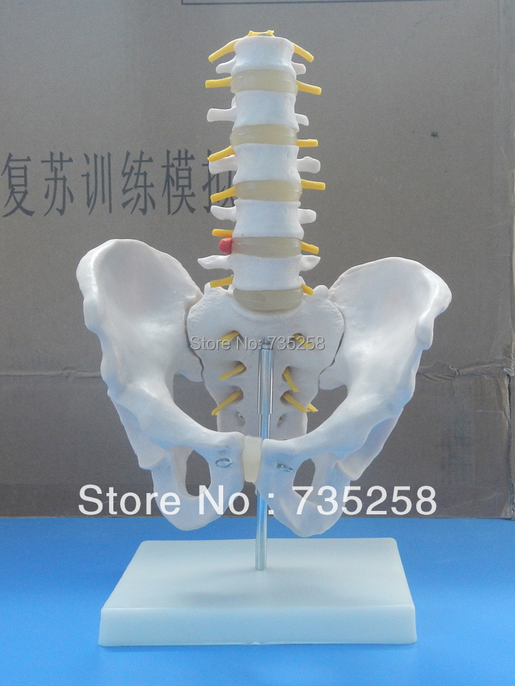 Human Pelvic Girdle Lumbar Spine Model,Human Pelvis Model,Section Five Lumbar Spine Model life size vertebral column spine with pelvis model bix a1009 w051