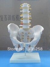 Human Pelvic Girdle Lumbar Spine Model,Human Pelvis Model,Section Five Lumbar Spine Model