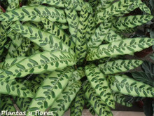 100 PCS Calathea seeds Like Monster, Sementes De Flores, Foliage Plant Bonsai Pot, Best Gift for Garden Lover