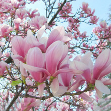 Hot Sale Pink Magnolia Seeds Common Magnolia Flowers Potted Plant The Full Range of Flower Seeds 100PCS