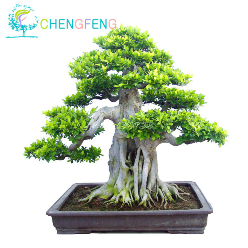 100pcs A Bag Banyan Tree Bonsai Ficus Ginseng Bonsai Chinese Rare