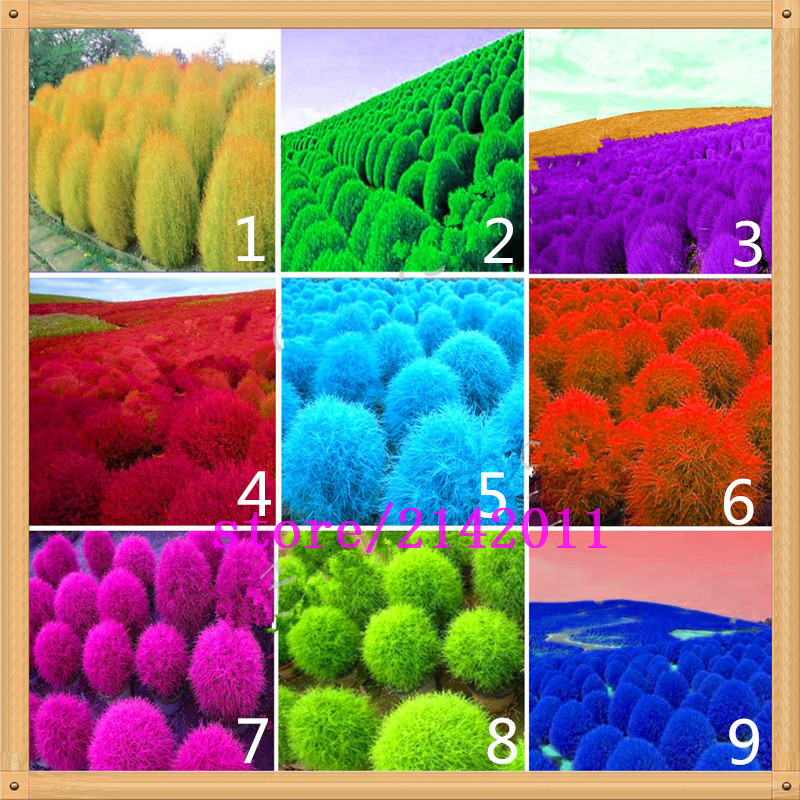 200 pcs/bag kochia, kochia scoparia, burning bush kochia scoparia, grass seeds, flower seeds, outdoor plant for home garden planting