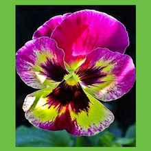 Buy pink pansy seeds and get free shipping on aliexpress cute japanese pansy flowers seeds diy home garden outdoor perennial bonsai pot pink mix yellow color mightylinksfo