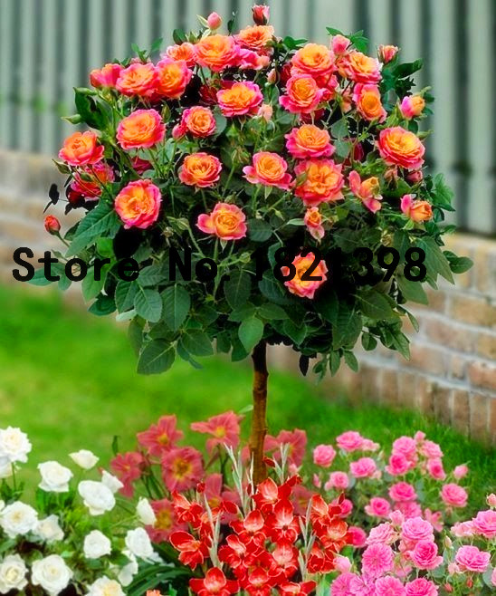 50pcs/bag Orange Rose Tree Seeds , rare color, gorgeous, pleasant-smelling fragrant Free Shipping bonsai flower plants for home