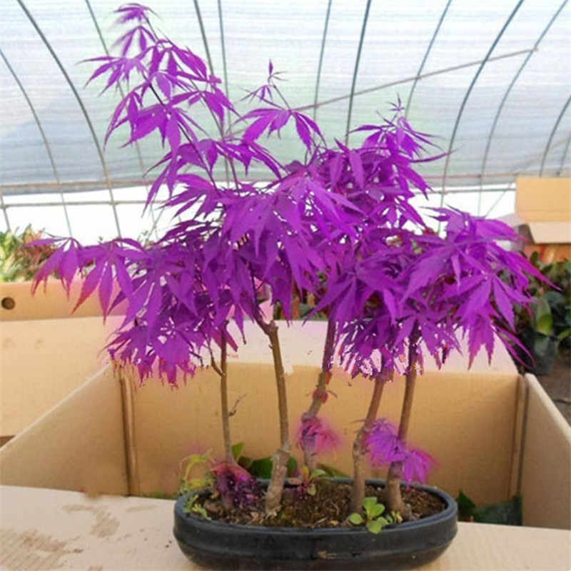 20PCS Rare Purple Blue Ghost Japanese Maple Tree, (Acer Palatum), bonsai flower tree plant for home garden (feng shu)