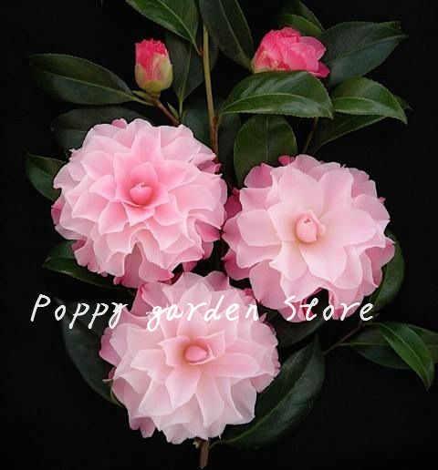 50 Pcs קמליה בונסאי Diy עציצים צבעוני פרח בונסאי רב שנתי מקורה חיצוני בונסאי סיר משפחה צמח לבית גן