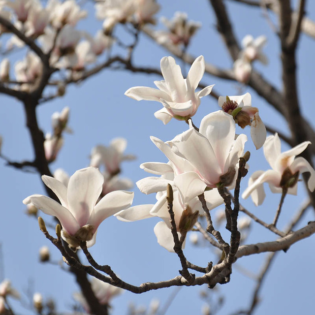 Hot sale rare white magnolia seeds potted magnolia flower seeds hot sale rare white magnolia seeds potted magnolia flower seeds bonsai pot plants tree seeds 120pcs mightylinksfo