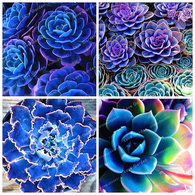 100 stk blå succulenter Witchford Lithops kaktus bonsai smukke sten blomst bonsai pseudotruncatella staude for hjem og have