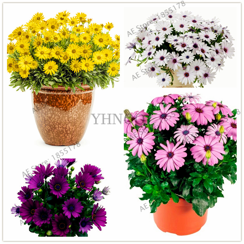 100pcs// bag Multicolor Rose Flower Seeds Garden Flower Plant RR6