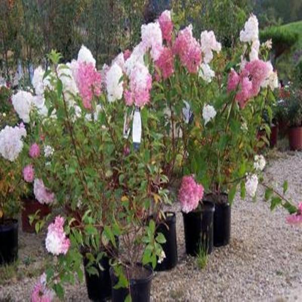 40pcsbag vanilla strawberry hydrangea flower seeds for planting flower bonsai or tree seeds hydrangea - Vanilla Strawberry Hydrangea