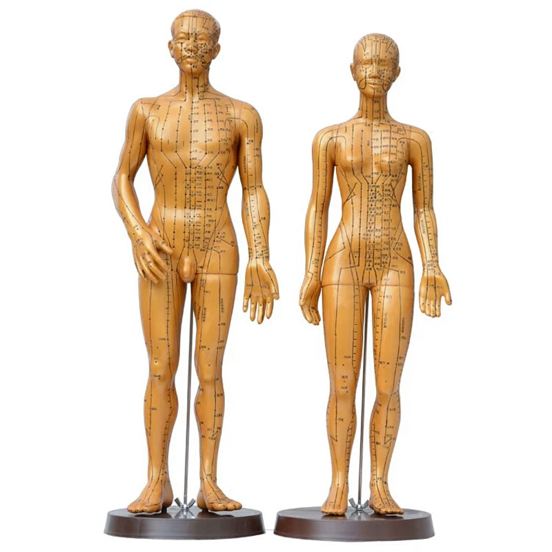 High Quality meridian model human acupuncture point male female  body model 50cm 48cm medical cducation appliances free shipping free shipping english medical female human body acupuncture point model 48cm