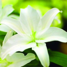 Mixed Color Lily Seeds, 100pcs/pack