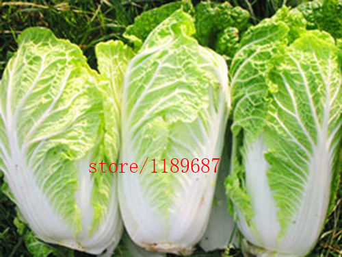 200pcs bag Chinese cabbage vegetable plants natural organic vegetable plant for home garden easy to grow in Bonsai from Home Garden