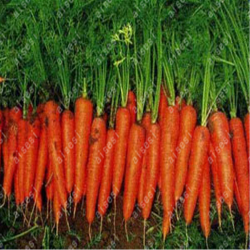 200 pcs Carrot Seeds-Red Giant Organic Russian Heirloom Vegetable seeds for home garden plants