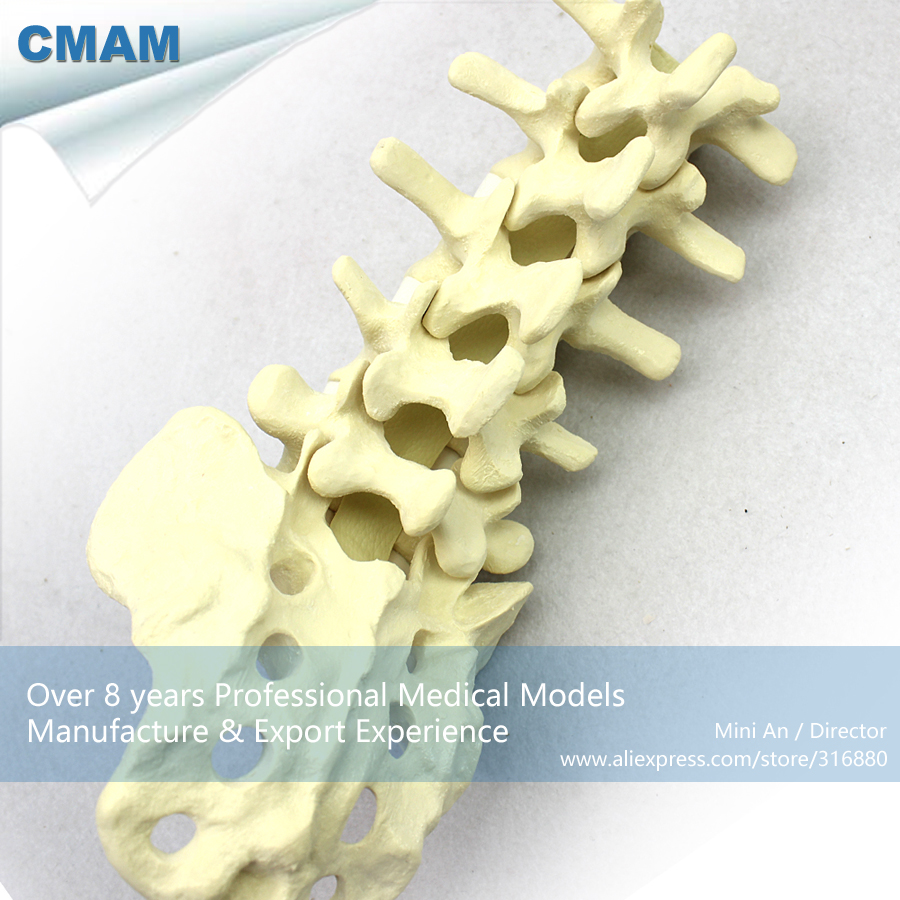 12313 CMAM-TF02 L1-L5 Lumbar Sacrum Bones Model for Training Practice, Medical Science Educational Teaching Anatomical Models cmam muscle16 deep anatomical structure model of human neck medical science educational teaching anatomical models