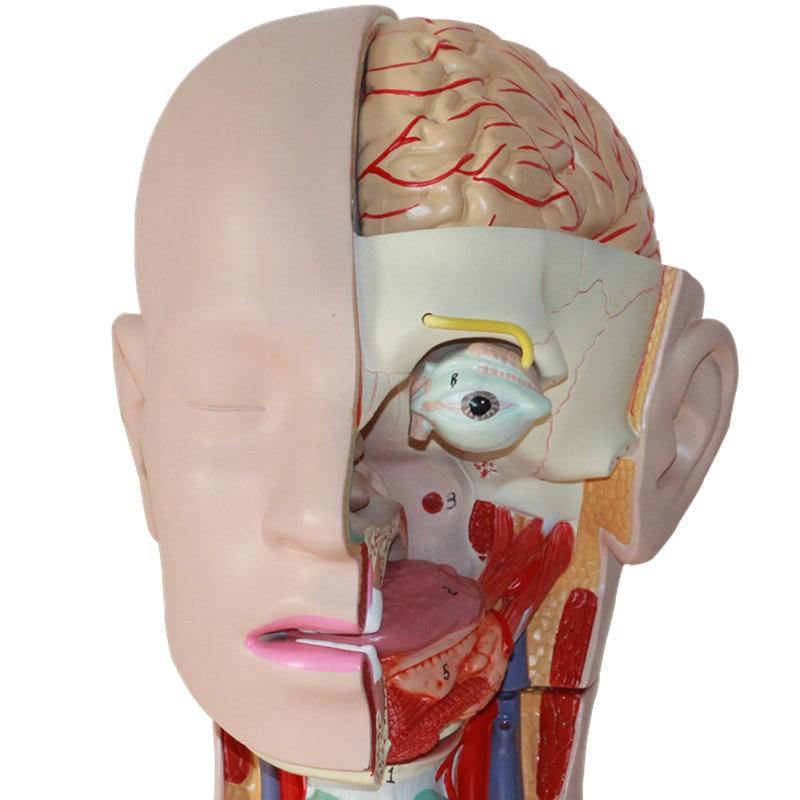 85 CM 17 teil menschliches torso anatomisches modell menschlichen ...