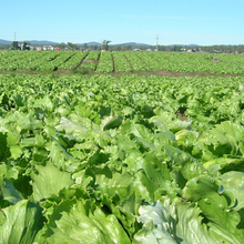 200 Italian Lettuce Seeds good taste , easy to grow, great salad choice ,DIY Home vegetable
