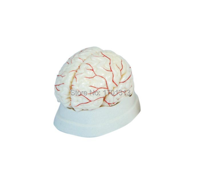 1:1 Cerebral artery model Medical Brain model head model  Special decoration Clinic personalized decorative Figurines brain mechanisms 1