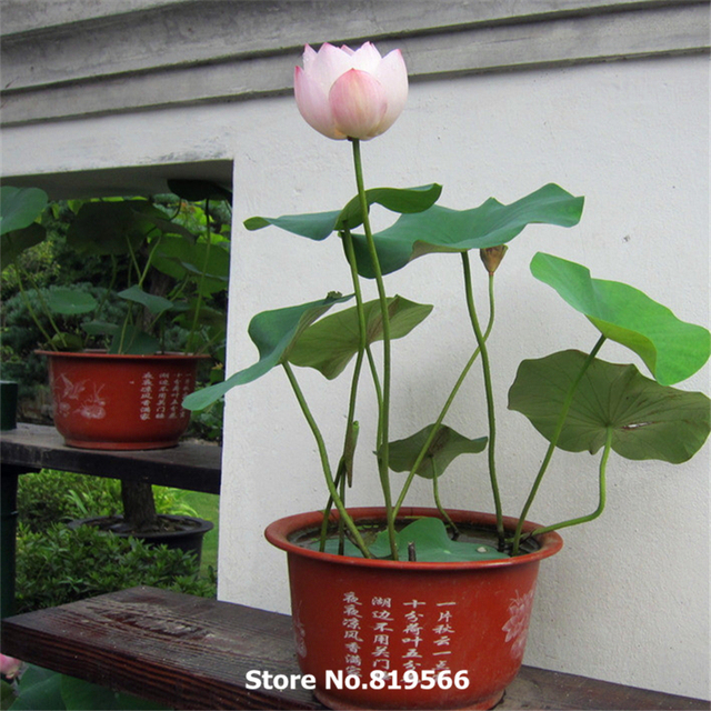 Water Lily Seeds Chinese Mini Bowl Lotus Flower Sementes Indoor Home