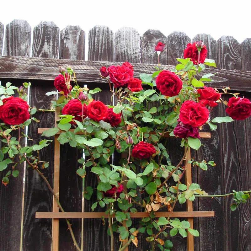 Trepadeiras flores-flores Rosa, Chinesa bonita Rosas Escalando bonsai, 150 package/bag ornamental planta-grelha promoção planta de jardim