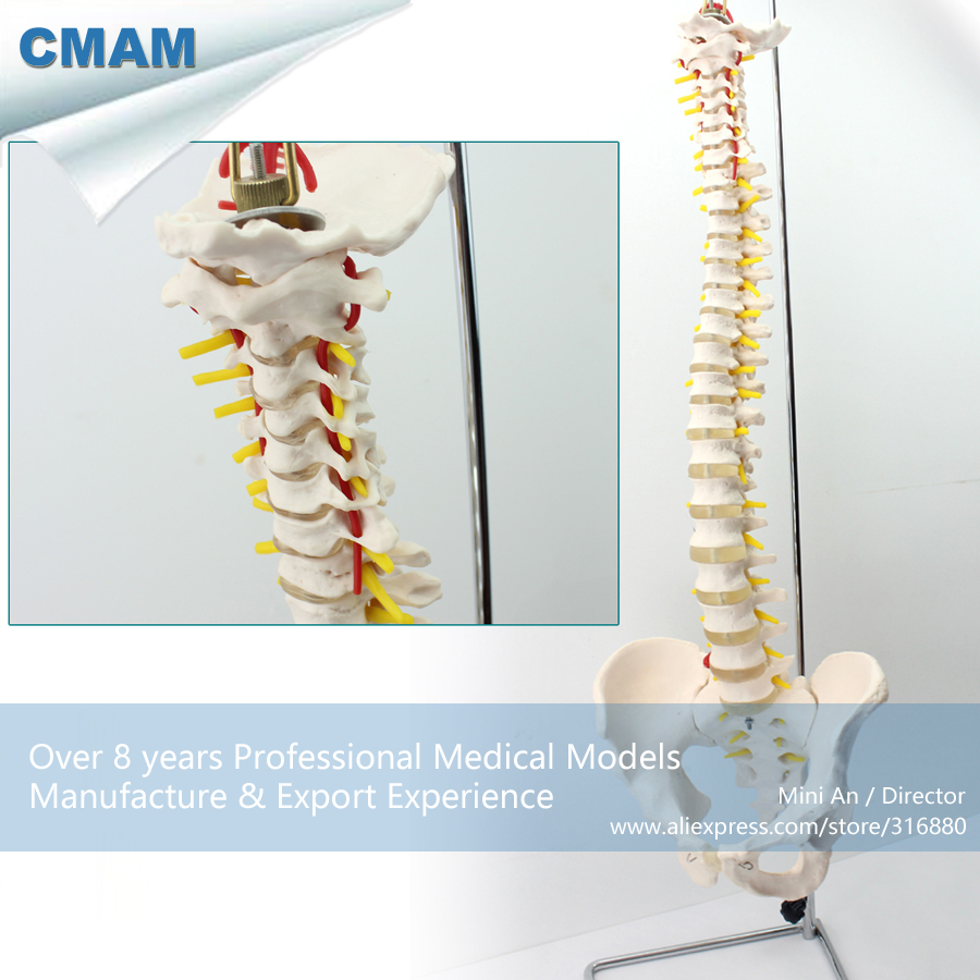 12382 CMAM-SPINE10 Vertebral Column With Stand Highly Detailed Life-Size Model, Medical Educational Teaching Anatomical Models cmam spine11 human vertebral column w half femur highly detailed model medical science educational teaching anatomical models