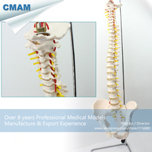 CMAM-SPINE10 Vertebral Column With Stand Highly Detailed Life-Size Model, Medical Science Educational Teaching Anatomical Models