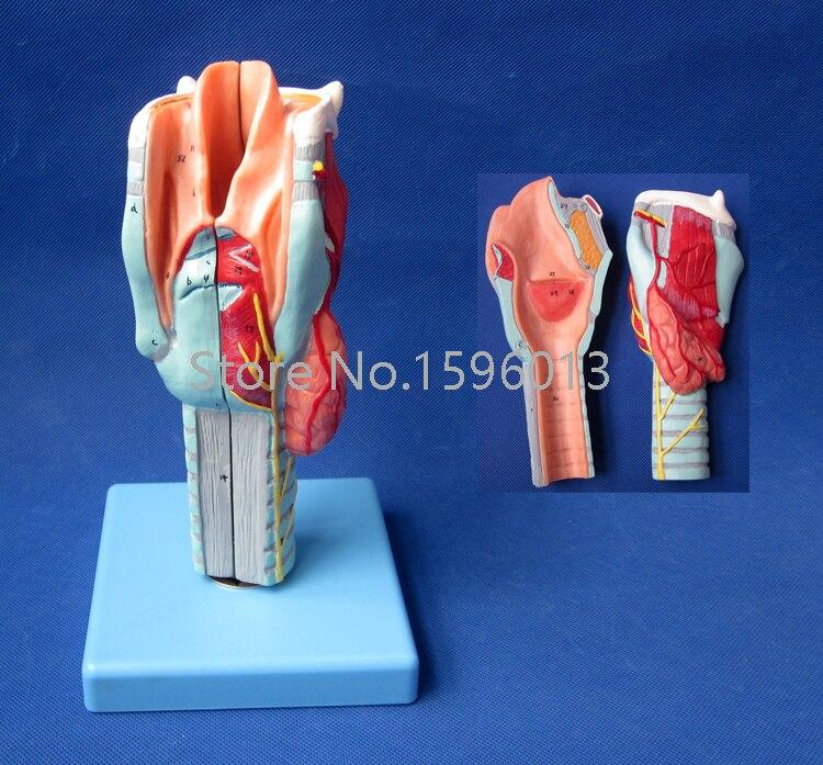 Human Larynx Model, Advanced Anatomical Larynx model