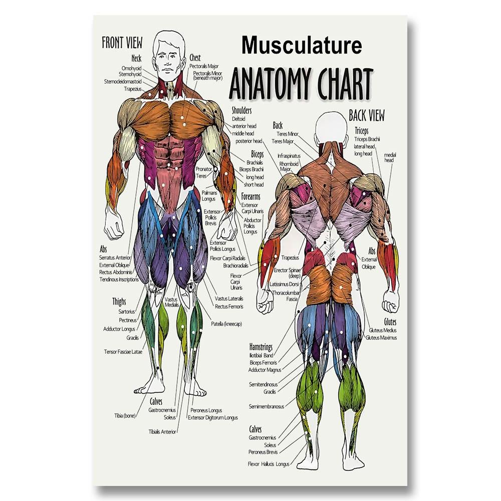 Musculature Anatomy Chart Human Body Poster Geekoplanet