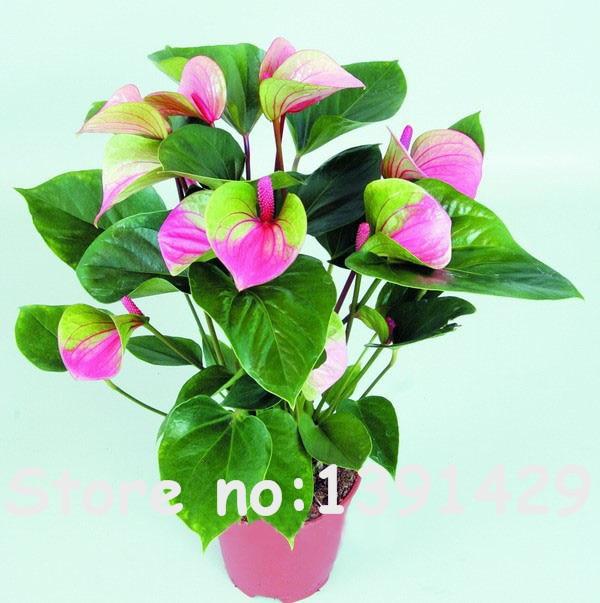 Buy 120pcs japan pink green anthurium - Anthurium turenza ...