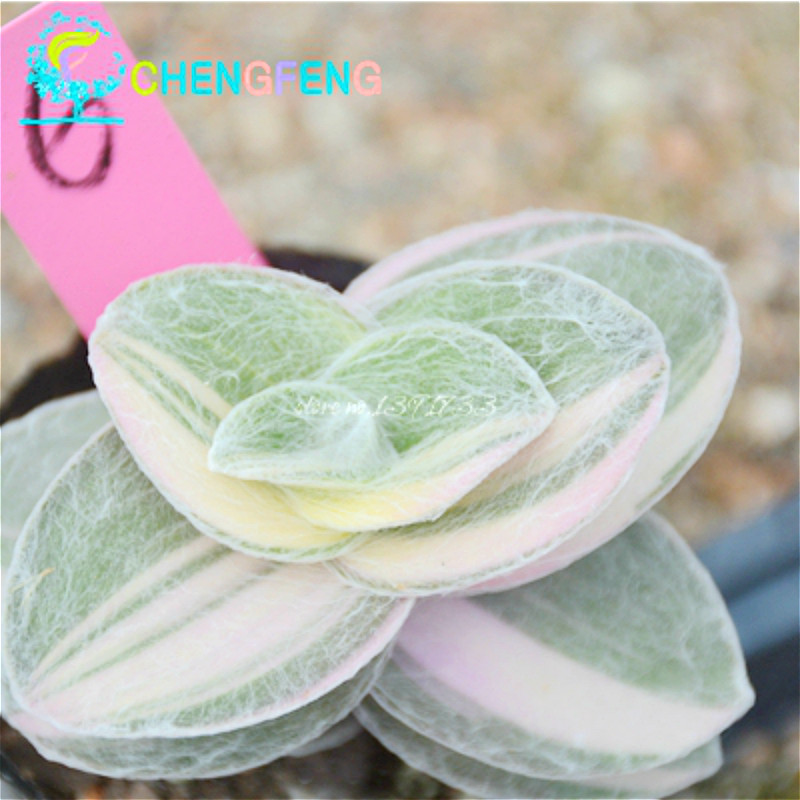 free shipping 100 snow white cactus seeds a bag new mix succulent seed bonsai plants seed for home garden flower pots planters beautifying office bonsai grass pots planters mini