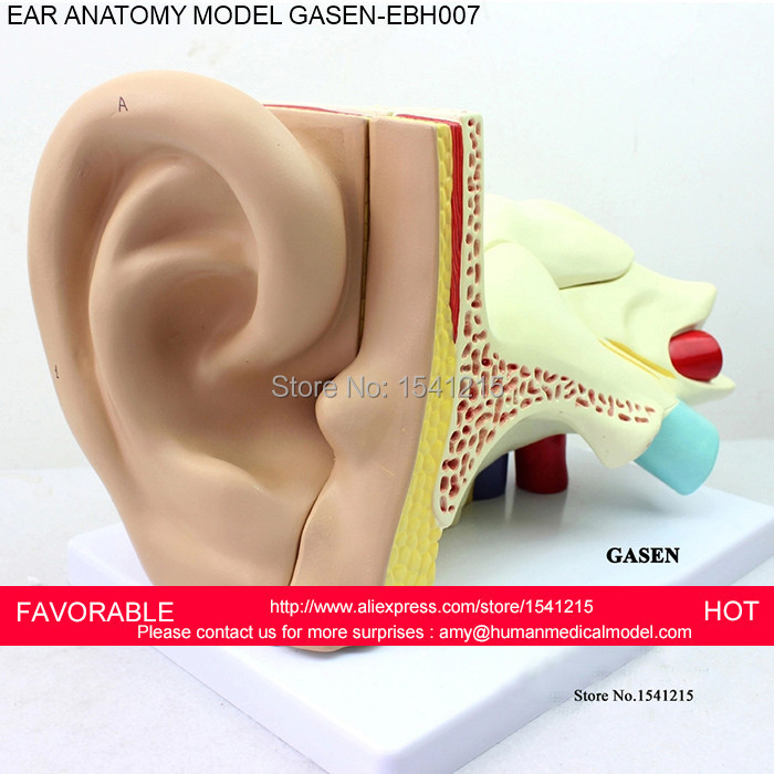 LISTENING TEACHING MODEL,EAR ANATOMICAL MODEL,ANATOMY MODEL,AURICLE ...