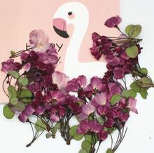 60pcs Pressed Dried Cerasus sp Cherry Flower Plants Herbarium For Resin Jewelry Making Postcard Frame Phone Case Craft DIY