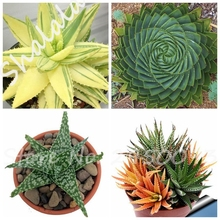 Buy Mini Aloe Plant And Get Free Shipping On Aliexpresscom