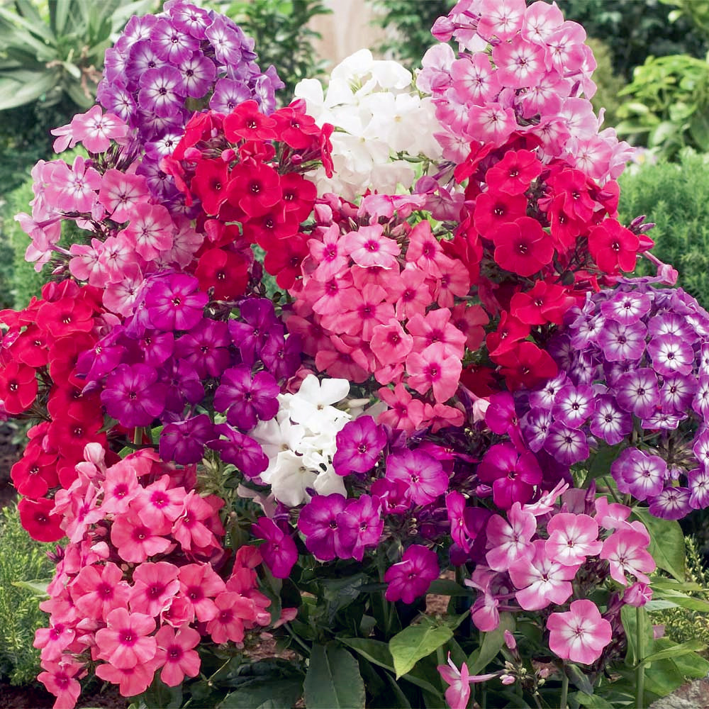 New Arrival Home Garden Plants 100 Pcs Outdoor Perennial Phlox