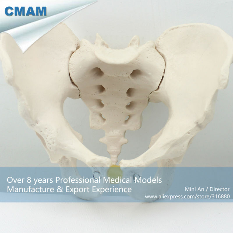 CMAM/12339 таз, мужской, пластиковый таз медицинский анатомический модель человека