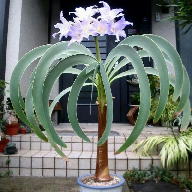 New 20 pcs/pack Bonsai Amazing Blue Amaryllis Beautiful For Home Garden