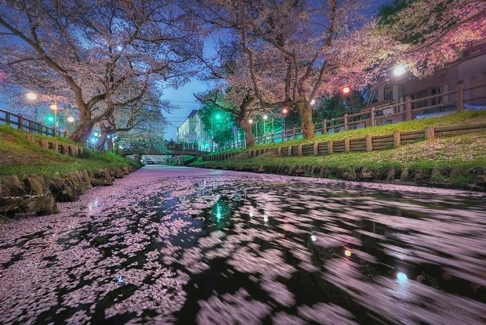 岛国,被樱花占领的春天!(摄影师KAGAYA) 
