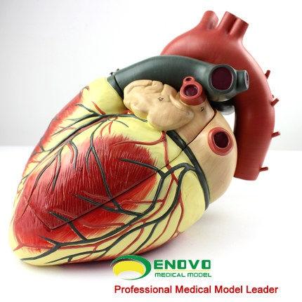 Online-Shop Medizinische ultraschall menschliche herz modell ...