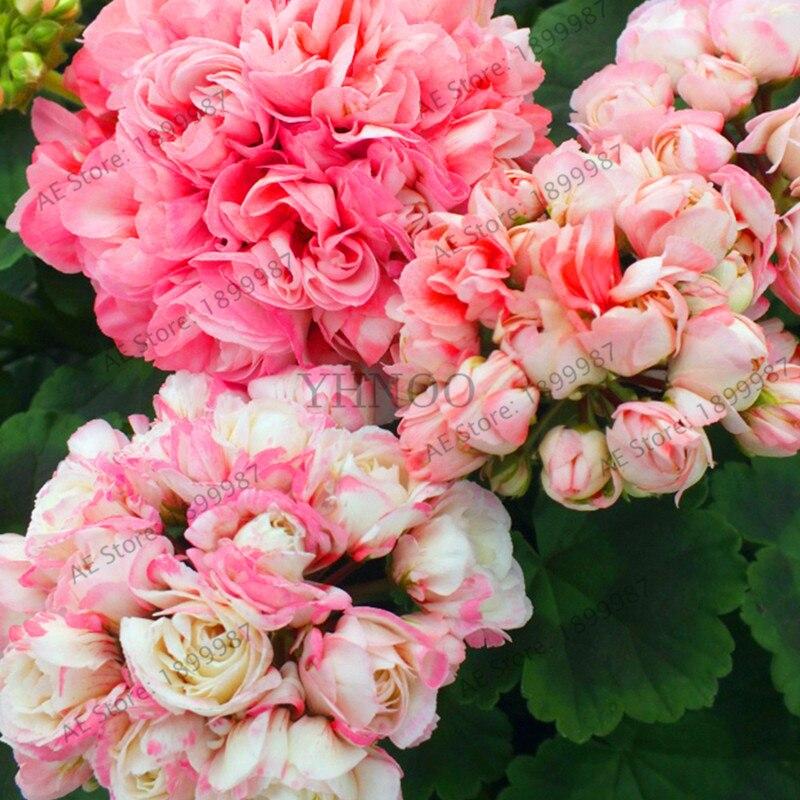 Большая Акция! 10 шт./пакет Редкие растения герани Appleblossom Rosebud Pelargonium многолетний цветник Харди растение бонсай горшках