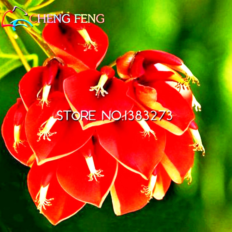 2016 Hot 50pcs/lot Erythrina Crista Galli Brazilian Shrub Seeds Beautiful Flower Bonsai Plant Tree Diy Home Garden Free Shipping