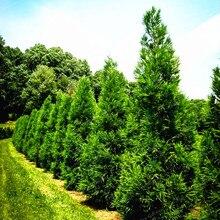 30Pcs Japanese Sugi Red Cedar Cryptomeria japonica Tree Seeds