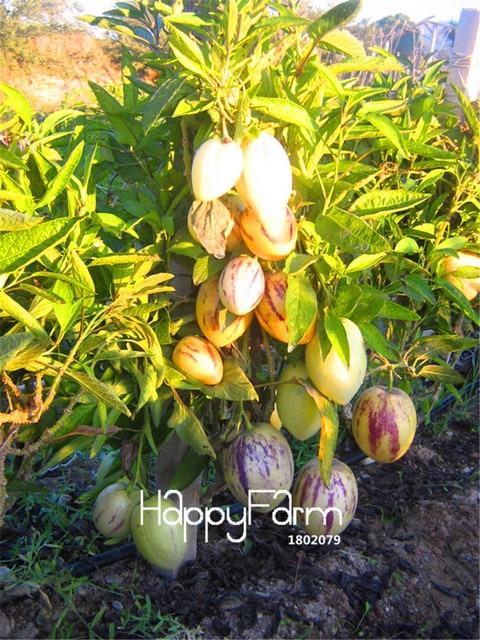 100 Pcs/Lot Verkauf! Melone Baum Pepino bonsai, Nicht GVO ...